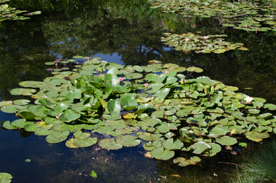 optim-lilly-pond-4